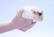 在白色的滑稽的豚鼠 免版税库存图片