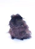 在白色的滑稽的黑色豚鼠 免版税库存照片