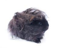 在白色的滑稽的黑色豚鼠 免版税图库摄影