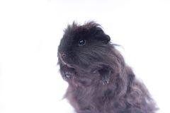 在白色的滑稽的黑色豚鼠 库存图片