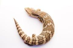 在白色的澳大利亚蓝舌头蜥蜴 库存照片