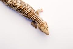 在白色的澳大利亚蓝舌头蜥蜴 库存图片