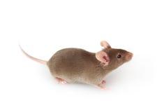 在白色的灰色鼠标 库存图片