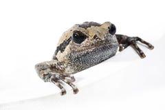 在白色的牛蛙 库存图片