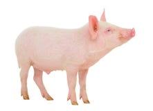 在白色的猪 免版税库存照片