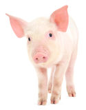 在白色的猪 免版税库存图片