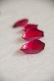 在白色的玫瑰花瓣 库存照片