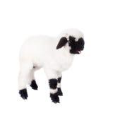 在白色的瓦雷兹羊羔 免版税库存图片
