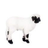 在白色的瓦雷兹羊羔 免版税库存照片