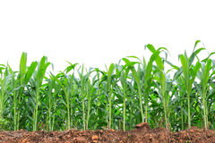 在白色的甜玉米领域 免版税库存照片
