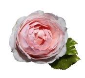 在白色的白桃红色花玫瑰隔绝了与裁减路线的背景没有阴影 绿色叶子上升了 对设计 库存照片