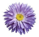 在白色的白紫罗兰色翠菊花隔绝了与裁减路线的背景 为设计,纹理,明信片,封皮开花 clos 免版税图库摄影