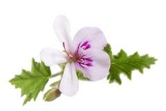 在白色的白色大竺葵天竺葵graveolens 库存照片