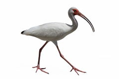 在白色的白色朱鹭鸟 免版税库存照片