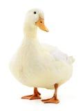在白色的白色鸭子 免版税图库摄影