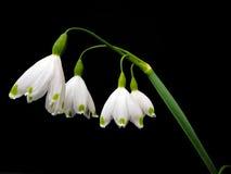 在白色的神仙的花与绿色斑点 免版税库存照片