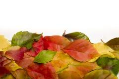 在白色的秋天五颜六色的叶子 免版税库存照片