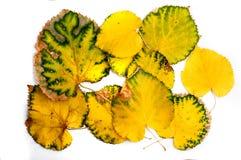 在白色的秋天黄色叶子 库存图片