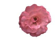 在白色的粉红色玫瑰 免版税库存照片