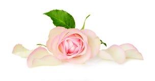 在白色的粉红色玫瑰 库存照片