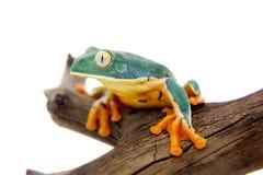 在白色的精采叶子青蛙 免版税库存图片