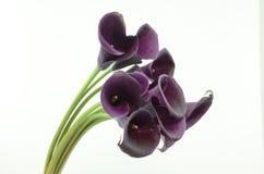 在白色的紫色水芋百合花隔绝了背景 库存图片