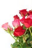 在白色的红色和桃红色玫瑰 库存照片