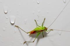 在白色的红色和绿色蟋蟀 库存照片