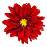 在白色的红色大丽花花 库存照片
