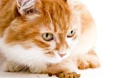 在白色的红色猫 免版税库存照片