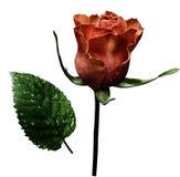 在白色的红色玫瑰隔绝了与裁减路线的背景 没有影子 特写镜头 在茎的一朵花与绿色在镭以后离开 图库摄影