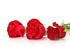 在白色的红色玫瑰 库存图片