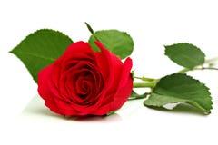 在白色的红色玫瑰 免版税库存照片