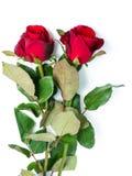 在白色的红色玫瑰 图库摄影