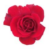 在白色的红色玫瑰 免版税图库摄影
