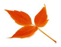 在白色的红色秋天叶子 免版税图库摄影