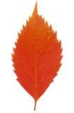 在白色的红色秋季叶子 免版税库存照片