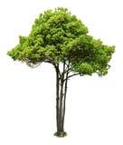 在白色的结构树 免版税库存图片