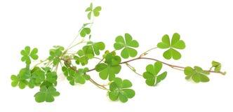 在白色的绿色三叶草叶子 免版税库存图片