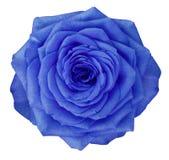 在白色的罗斯蓝色花隔绝了与裁减路线的背景 没有影子 特写镜头 免版税库存图片