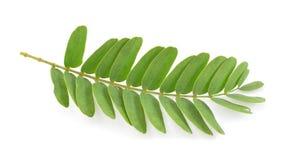 在白色的罗望子树叶子 库存照片