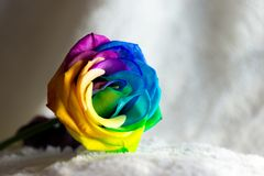 在白色的美丽的彩虹罗斯 免版税库存照片