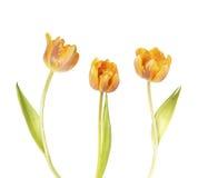在白色的美丽的橙色郁金香花 免版税库存图片