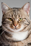 在白色的美丽的欧洲猫 免版税库存照片