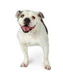 在白色的老英国牛头犬 免版税图库摄影