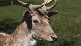 在白色的背景鹿isoalted男 黄鹿黄鹿 股票录像