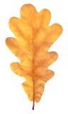 在白色的自然秋天橡木叶子 免版税库存照片