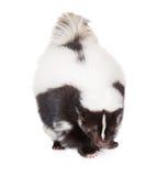 在白色的臭鼬 库存图片