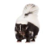 在白色的臭鼬 免版税库存图片