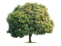 在白色的芒果树孤立 免版税库存照片